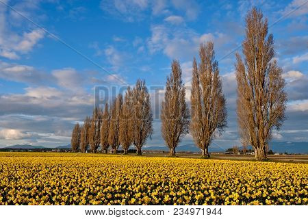 Spring Fields And Alley. Scenic View Of  Yellow Daffodil Fields In Full Bloom. Mount Vernon Tulip Fe