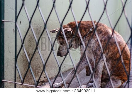 Thai Dog In Cage For Pet And Rabies Surveillance In Summer Concept