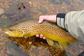 Fly fishing - Releasing a Brown Trout on the White River of Arkansas in the fall poster