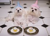 Two maltese puppies with party hats celebrating a birthday. poster