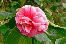 Camellia Debutante Japonica, A Double Pink Bloom, With Darker Stripes