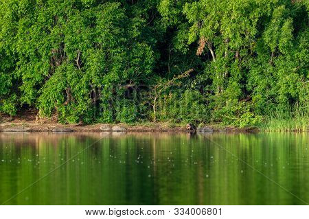 Smooth Coated Otter Family Playing At Shore Of Ramganga River. Nature Canvas Painting In Calm Water