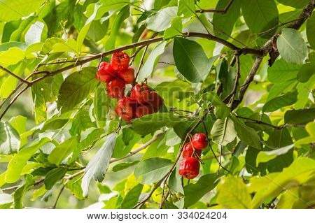 Small Red Fruit On A Tree, Seychelles