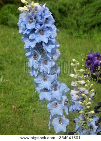 Blue Flowers Of Delphinium Elatum , Delphinium Flower In The Garden - Larkspur Flowers. Gardening Of