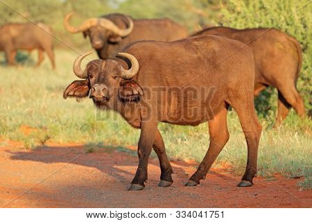 An African buffalo (Syncerus caffer) in natural habitat, Mokala National park, South Africa