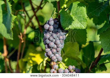 Red Wine Grape Blue Pinot Noir In A Vineyard In Brauneberg On The River  Moselle