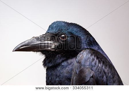 Extreme Closeup On A Crow Or Raven Head While Posing For The Camera. House Pet Crows Portrait In Stu