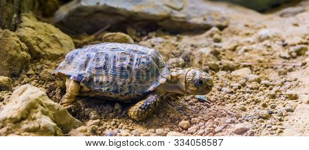 Closeup Of A Speckled Tortoise, Small Turtle Specie From Africa, Endangered Tropical Animal Specie