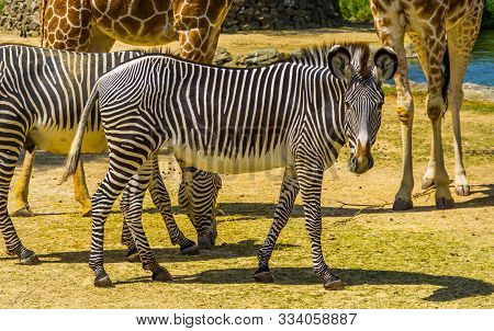 Beautiful Portrait Of A Imperial Zebra, Endangered Animal Specie From Africa, Black And White Stripe