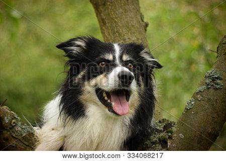 Portrait Of Border Collie, Who Is Bear On Tree. He Is So Cute And Excited. He Is Cathing Tidbit.