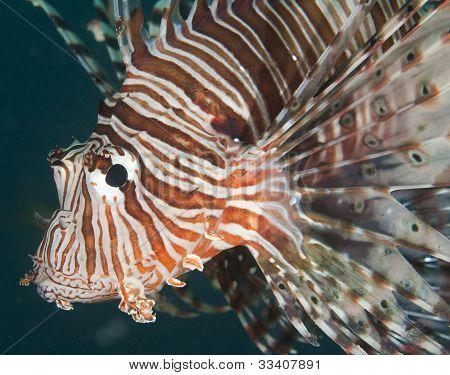 Closeup Detail Of Red Sea Lionfish