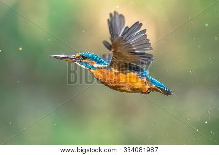 Common European Kingfisher (alcedo Atthis).  River Kingfisher Flying After Emerging From Water On Gr