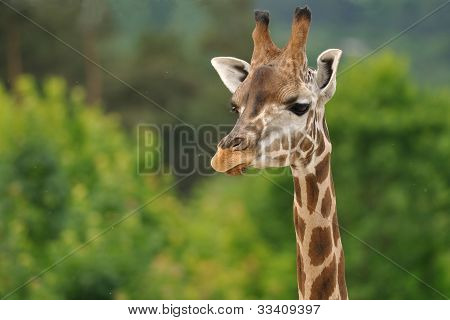 Giraffe head with neck isolated on green background poster