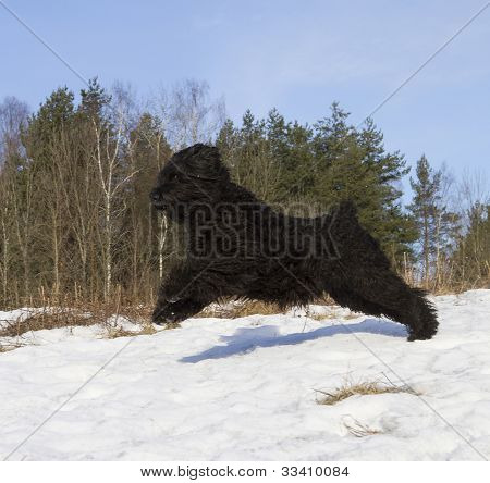 Black Russian Terrier (BRT or Stalin's dog) best guard and police dog poster