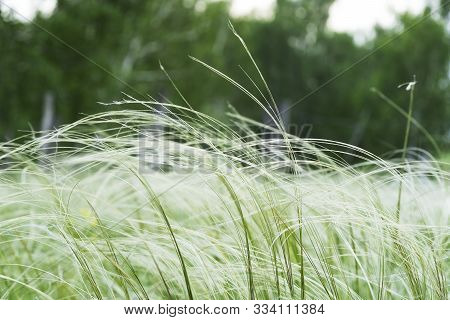 Green Feather Grass In The Steppe Or Forest. A Lawn With White Fluffy Grass, Nassella Tenuissima, Is
