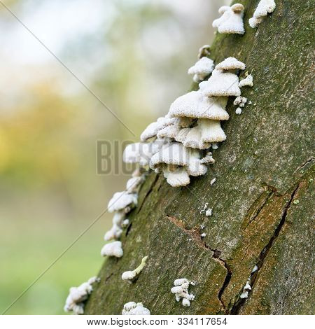 Split Gill Fungus (schizophyllum Commune) On A Dead Tree Trunk In The Forest