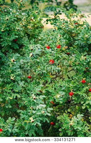 Red Rose Hip Or Rosehip. Rose Hips Contain Large Amounts Of Vitamins, Especially Vitamin C And Vitam