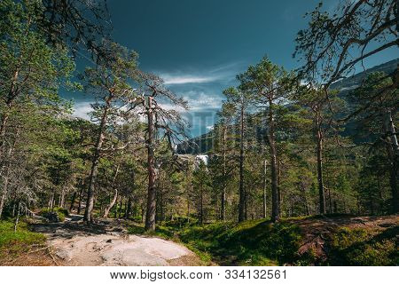Kinsarvik, Hordaland, Norway. Beautiful Summer Coniferous Forest In Sunny Day. Green Pine Woods In F