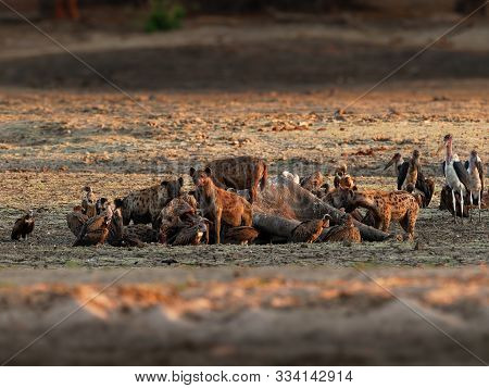 Spotted Hyena - Crocuta Crocuta Several Hyenas And Vultures Feeding On The Dead Elephant In The Mud,