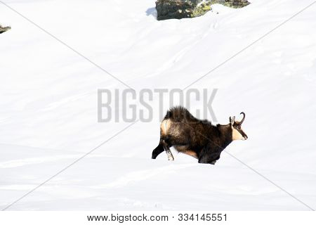 The Chamois On The Snow, In The Gran Paradiso Park