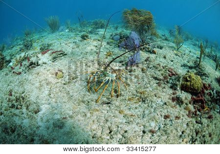 lobster on the ocean floor in its natural habitat with gorgonians in background poster