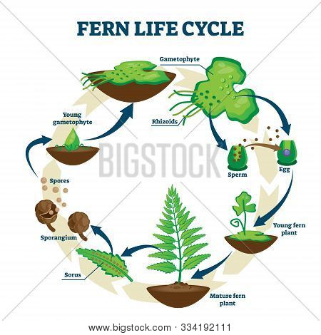 Fern Life Cycle Vector Illustration. Labeled Educational Development Process Scheme. Different Plant