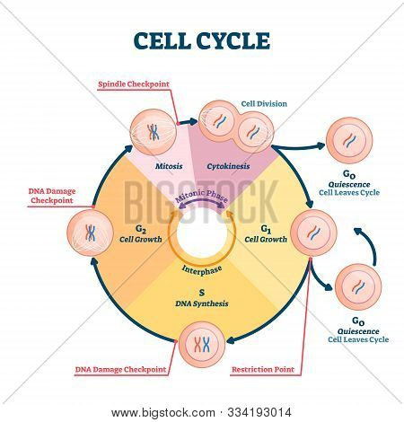 Cell Cycle Vector Illustration. Educational Microbiological Phases Scheme. Scientific Section Divisi