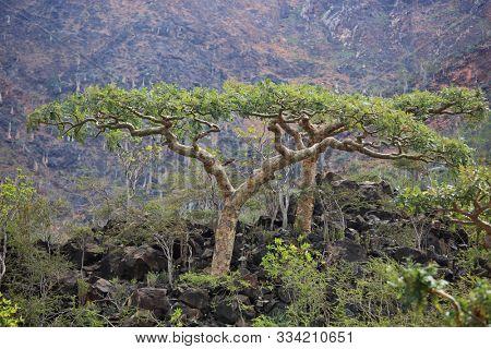 beautiful, branches, cucumber, dendrosicyos socotranus, endemic, exotic, flora, green, island, plant, rare, socotra, soqotra, tree, unique, unusual, wild, yemen