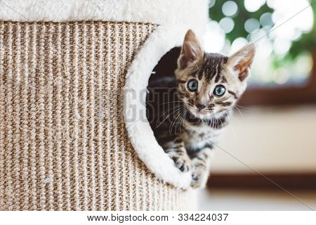 Young Bengal kitten play in cat tree at home. Home breeding