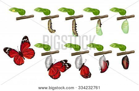 Butterfly Cycle. Life Of Insects Larva Cocoon Grub Pupae Caterpillars Change Vector Concept. Illustr