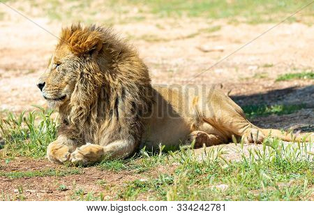 Portrait Of Lion On Lying The Ground.