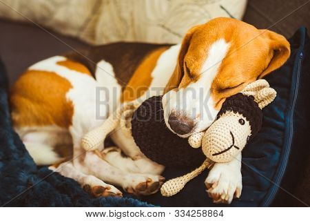 Adorable Beagle Dog Sleeping With His Favorite Sheep Toy. Canine Background. Lazy Rainy Day On Couch