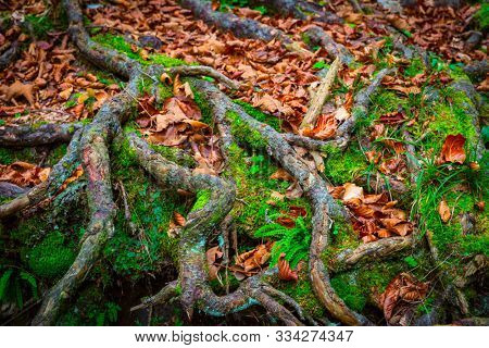 view on tree roots in green moss and autumn leaves