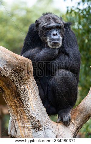 Chimpanzee Or Pan Troglodytes Siiting On The Log