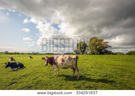 One Red-and-white Cow Poses In Front Of The Photographer In The Dutch Meadow. The Other Cows Are Laz