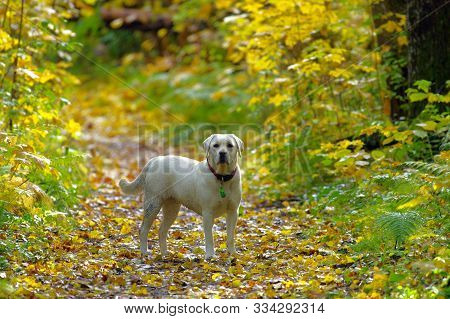 Loyal Labrador Day Our Through Colorful Autumn Nature
