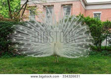 White Peacock With Big Tail Spread Out