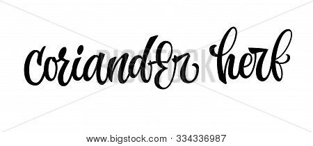 Coriander Herb - Vector Hand Drawn Calligraphy Style Lettering Word. Isolated Script Spice Text Labe