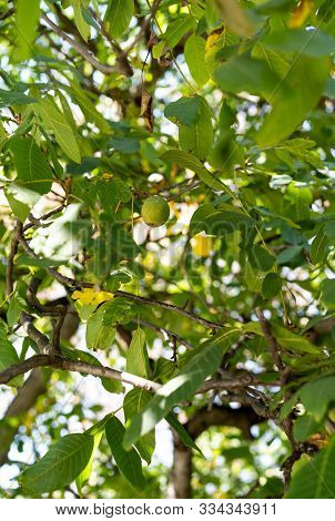 Walnut Tree With Growing Walnuts In The Month Of September.walnut Tree With Growing Walnuts In The M