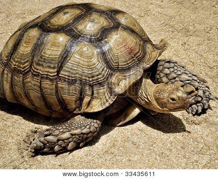 Tortoise At Brevard Zoo