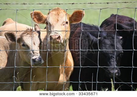 Bovines behind bars