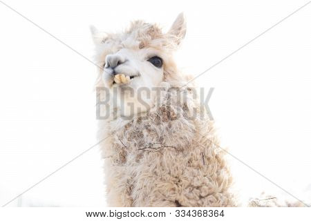 Lama Shows Us His Teeth.lama Shows Us His Teeth