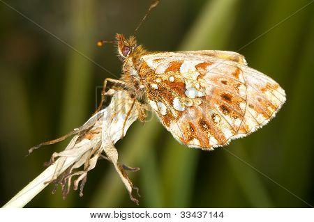 Weaver's Fritillary butterfly close-up / Boloria dia poster