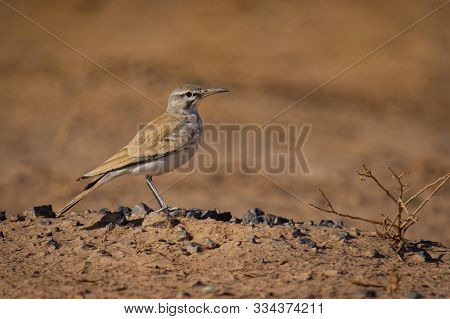 Greater Hoopoe-lark - Alaemon Alaudipes Or Bifasciated Lark Passerine Bird, Breeding Resident Of Ari