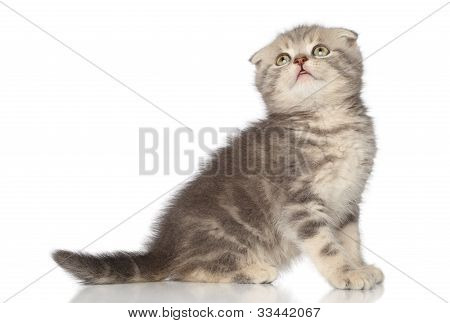 Scottish fold kitten looking up on a white background poster