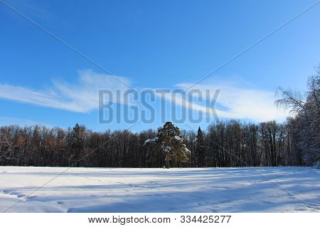 Lonely Pine Tree In The Middle Of A Snowy Forest.