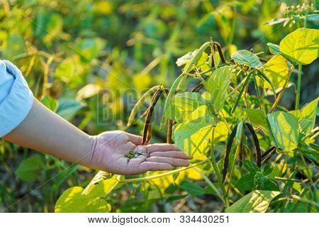 Mung Bean On Hands Green Pods (vigna Radiata) And Mung Bean Leaves On The Mung Bean Stalk