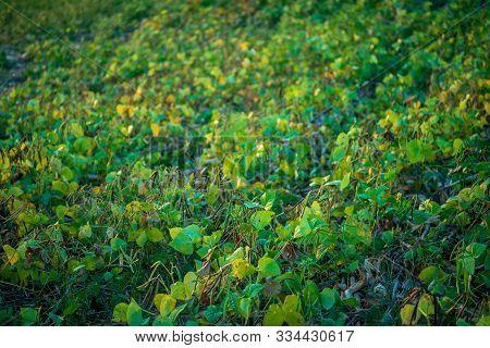 Mung Bean Green Pods (vigna Radiata) And Mung Bean Leaves On The Mung Bean Stalk