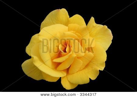 Single Yellow Rose Bloom Isolated
