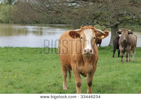 Cows standing in a flooded field on a bright spring morning. poster
